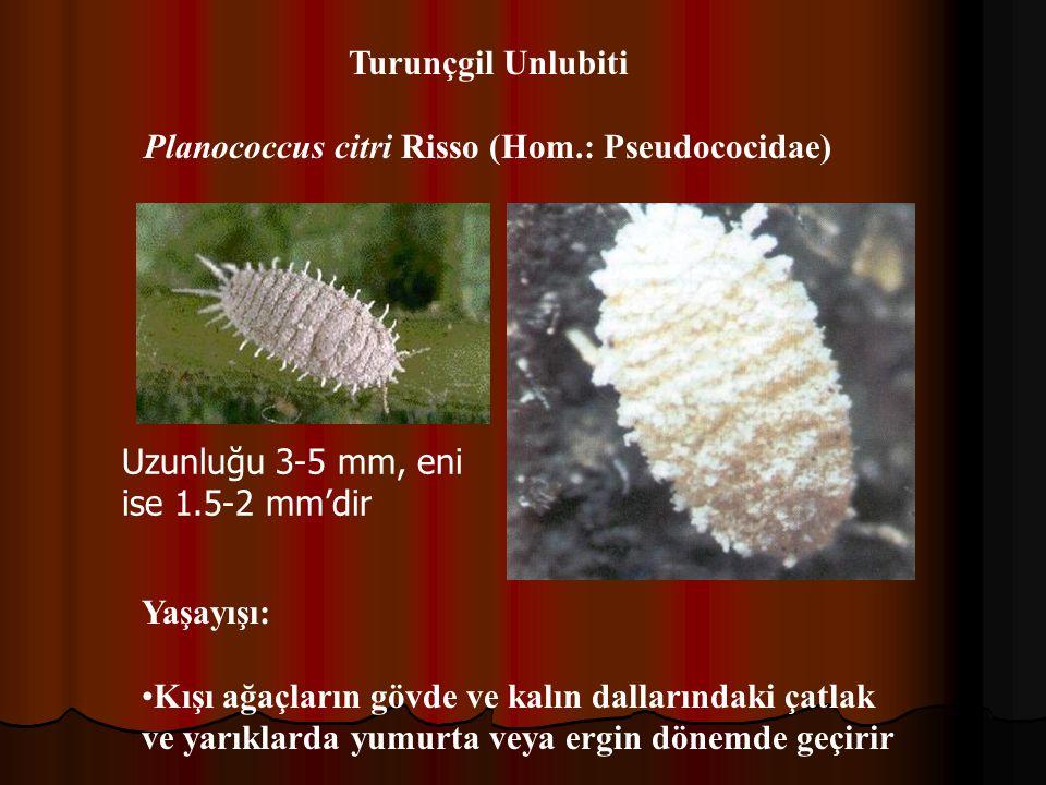 Turunçgil Unlubiti Planococcus citri Risso (Hom.: Pseudococidae) Yaşayışı: Kışı ağaçların gövde ve kalın dallarındaki çatlak ve yarıklarda yumurta veya ergin dönemde geçirir Uzunluğu 3-5 mm, eni ise 1.5-2 mm'dir