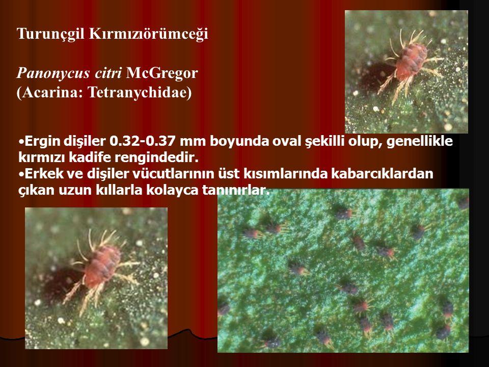Turunçgil Kırmızıörümceği Panonycus citri McGregor (Acarina: Tetranychidae) Ergin dişiler 0.32-0.37 mm boyunda oval şekilli olup, genellikle kırmızı kadife rengindedir.