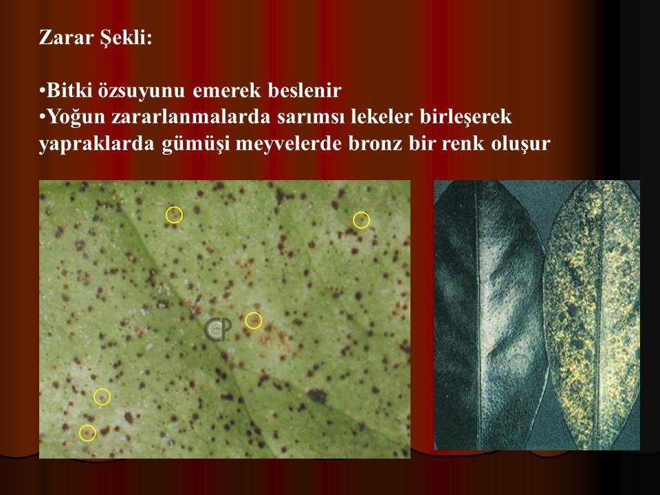 Zarar Şekli: Bitki özsuyunu emerek beslenir Yoğun zararlanmalarda sarımsı lekeler birleşerek yapraklarda gümüşi meyvelerde bronz bir renk oluşur