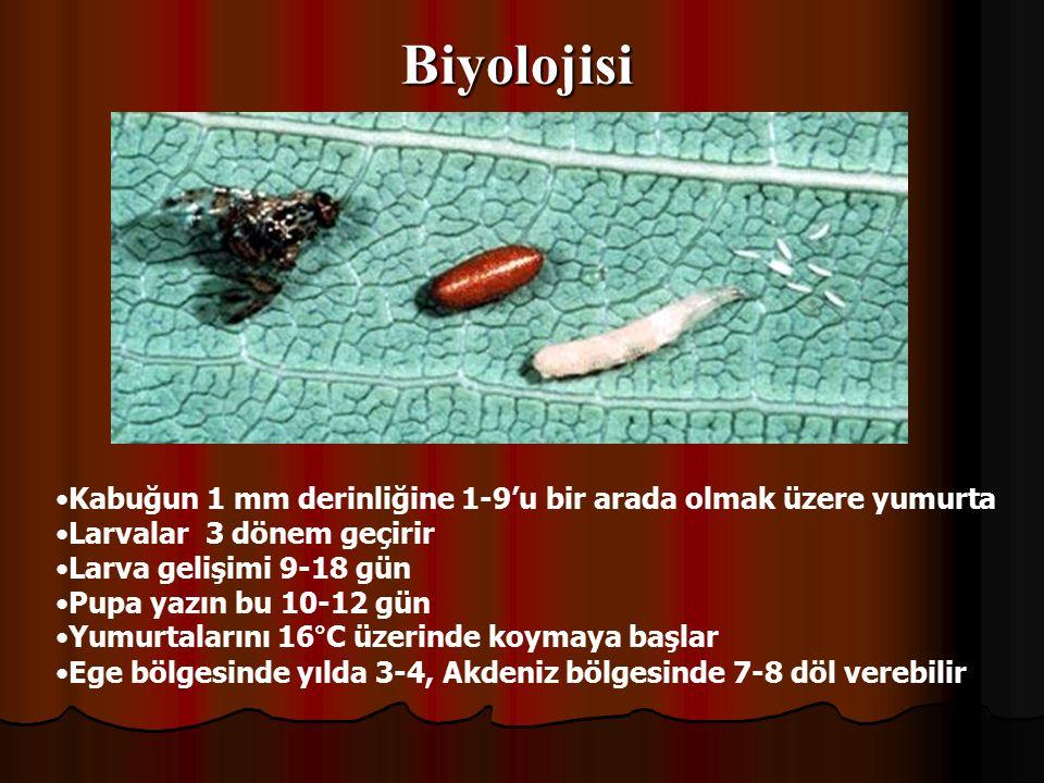 Biyolojisi Kabuğun 1 mm derinliğine 1-9'u bir arada olmak üzere yumurta Larvalar 3 dönem geçirir Larva gelişimi 9-18 gün Pupa yazın bu 10-12 gün Yumurtalarını 16°C üzerinde koymaya başlar Ege bölgesinde yılda 3-4, Akdeniz bölgesinde 7-8 döl verebilir