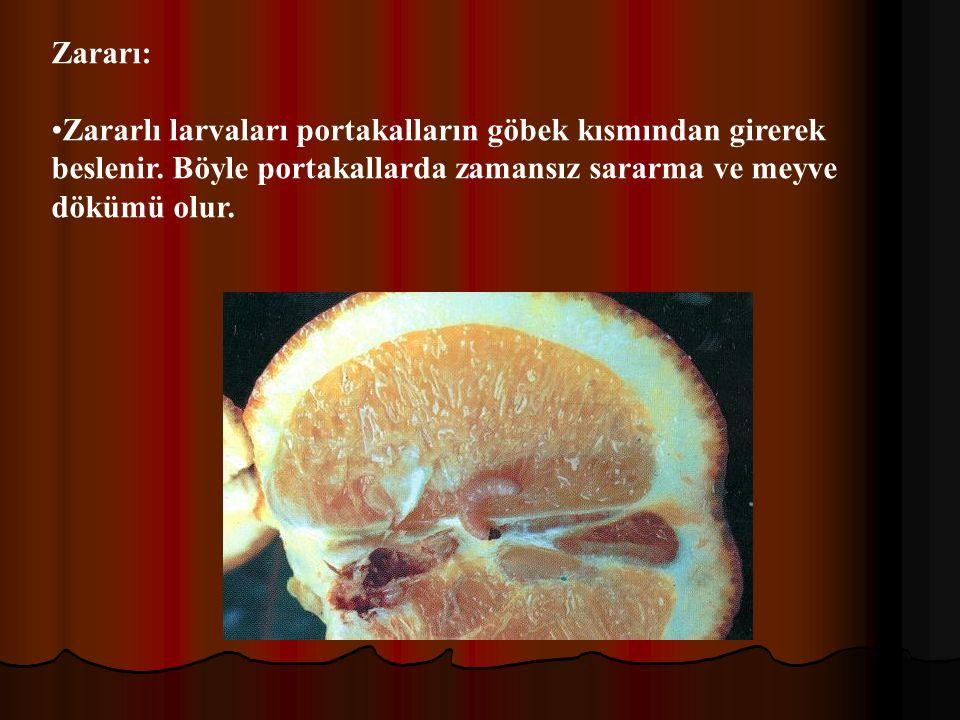 Zararı: Zararlı larvaları portakalların göbek kısmından girerek beslenir.