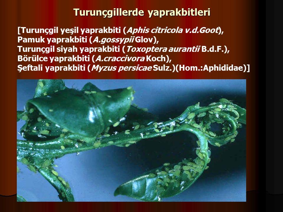 Turunçgillerde yaprakbitleri [Turunçgil yeşil yaprakbiti (Aphis citricola v.d.Goot), Pamuk yaprakbiti (A.gossypii Glov), Turunçgil siyah yaprakbiti (Toxoptera aurantii B.d.F.), Börülce yaprakbiti (A.craccivora Koch), Şeftali yaprakbiti (Myzus persicae Sulz.)(Hom.:Aphididae)]