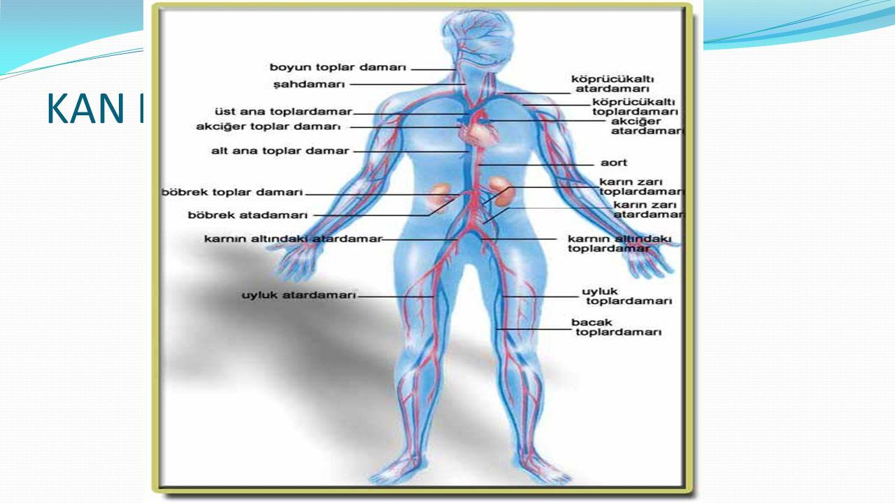 Arterler Görevleri Yapısı