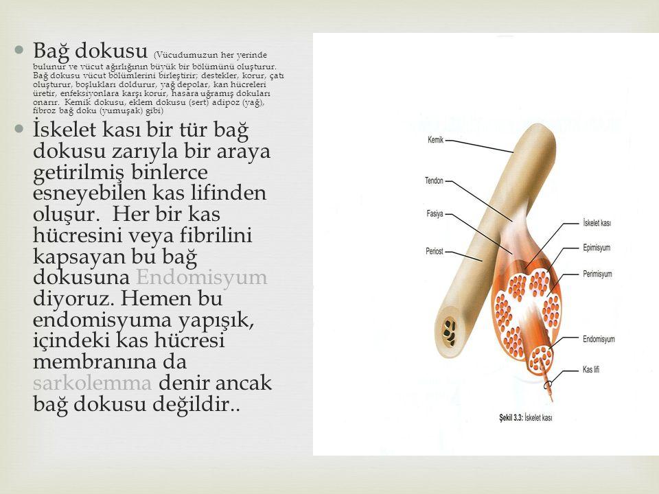 Bağ dokusu (Vücudumuzun her yerinde bulunur ve vücut ağırlığının büyük bir bölümünü oluşturur. Bağ dokusu vücut bölümlerini birleştirir; destekler, ko
