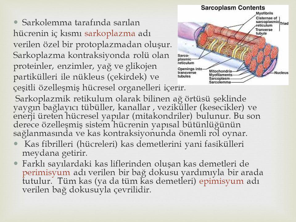 Sarkolemma tarafında sarılan hücrenin iç kısmı sarkoplazma adı verilen özel bir protoplazmadan oluşur. Sarkoplazma kontraksiyonda rolü olan proteinler