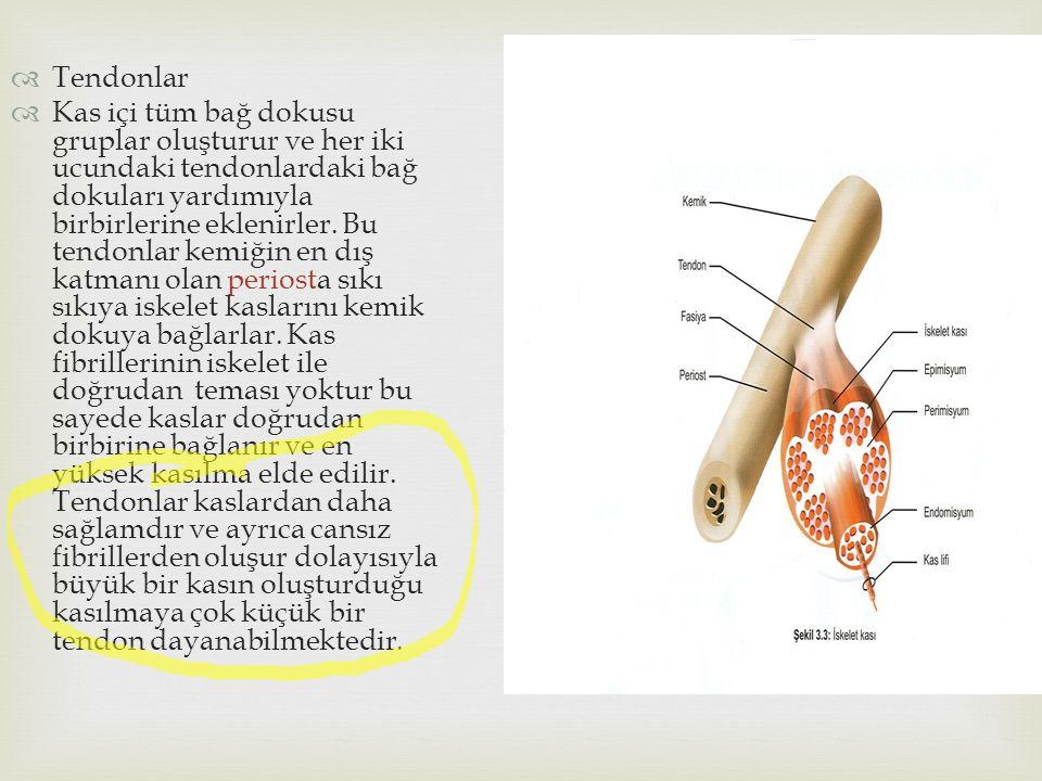  Tendonlar  Kas içi tüm bağ dokusu gruplar oluşturur ve her iki ucundaki tendonlardaki bağ dokuları yardımıyla birbirlerine eklenirler. Bu tendonlar