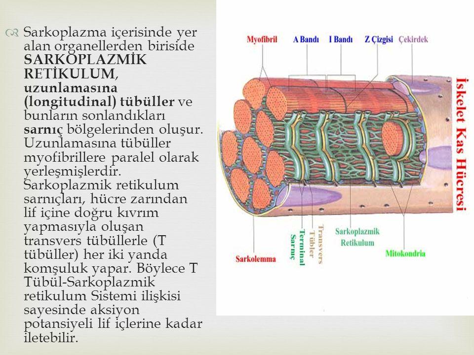  Sarkoplazma içerisinde yer alan organellerden biriside SARKOPLAZMİK RETİKULUM, uzunlamasına (longitudinal) tübüller ve bunların sonlandıkları sarnıç