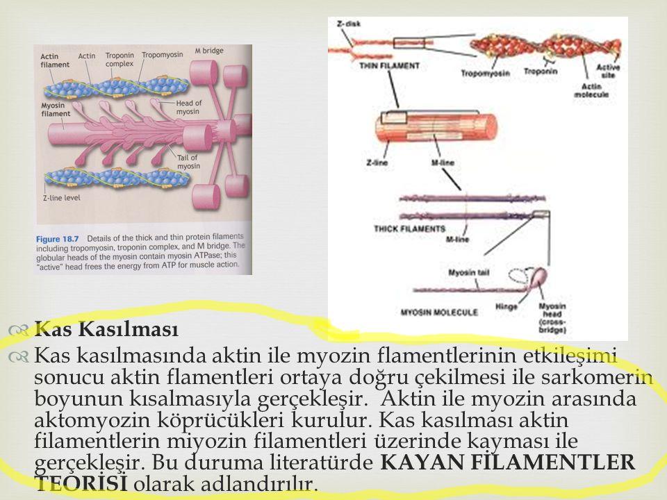  Kas Kasılması  Kas kasılmasında aktin ile myozin flamentlerinin etkileşimi sonucu aktin flamentleri ortaya doğru çekilmesi ile sarkomerin boyunun k