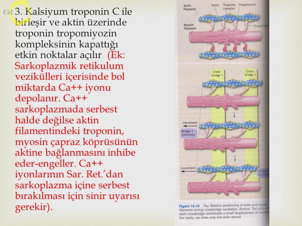  3. Kalsiyum troponin C ile birleşir ve aktin üzerinde troponin tropomiyozin kompleksinin kapattığı etkin noktalar açılır (Ek: Sarkoplazmik retikulum
