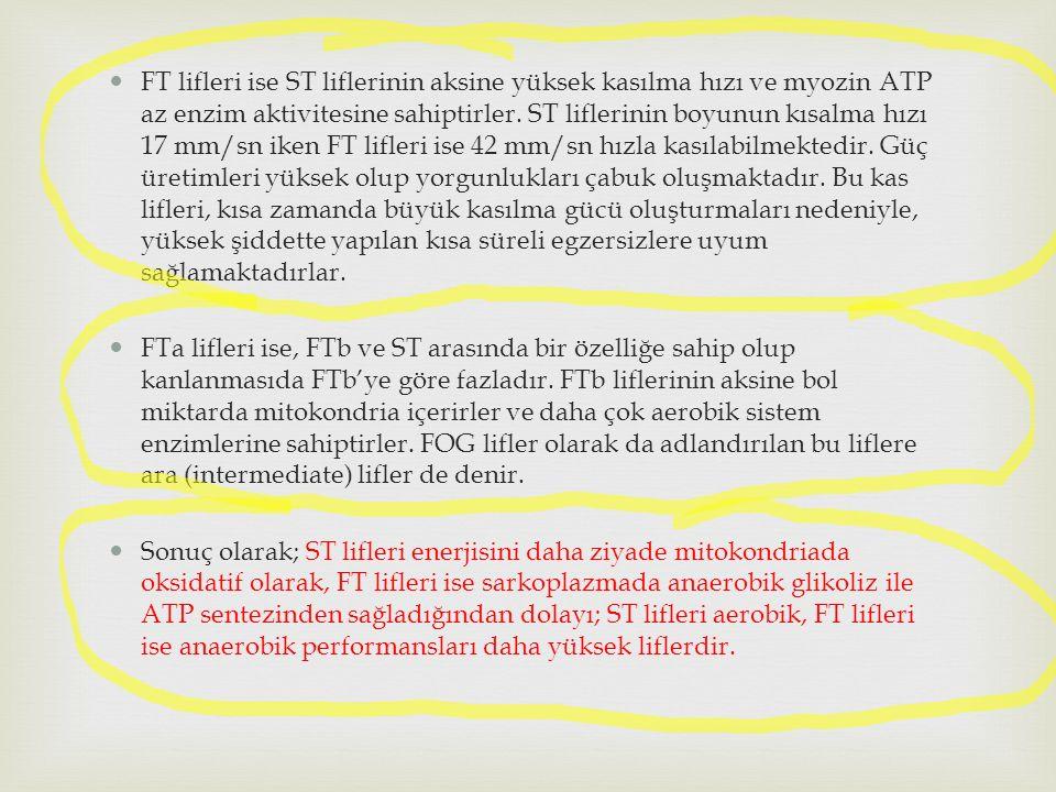 FT lifleri ise ST liflerinin aksine yüksek kasılma hızı ve myozin ATP az enzim aktivitesine sahiptirler. ST liflerinin boyunun kısalma hızı 17 mm/sn i