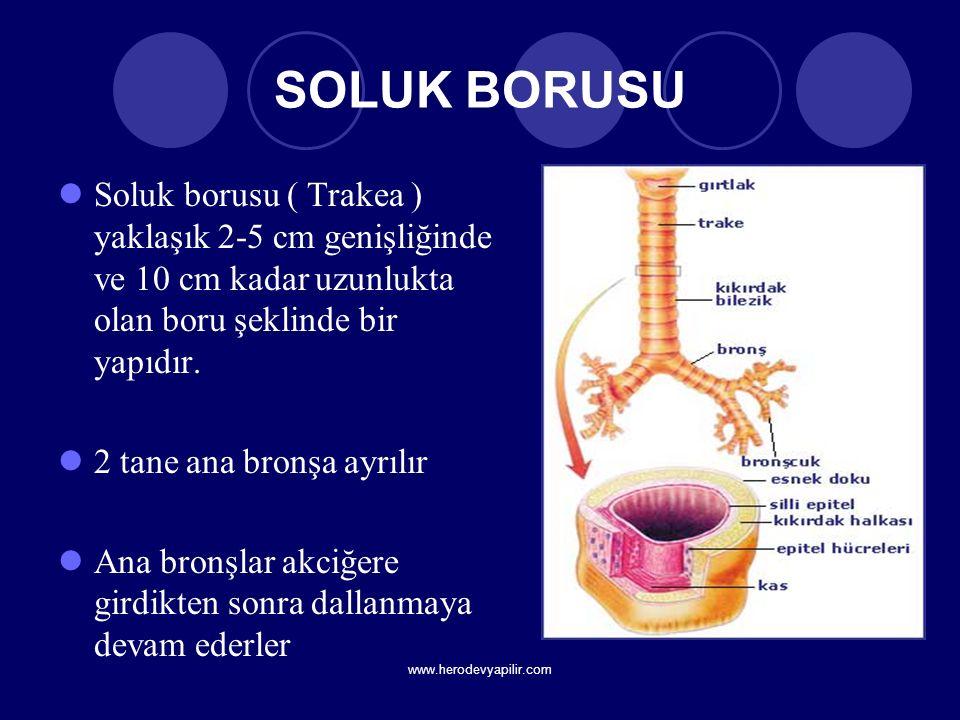 SOLUK BORUSU Soluk borusu ( Trakea ) yaklaşık 2-5 cm genişliğinde ve 10 cm kadar uzunlukta olan boru şeklinde bir yapıdır. 2 tane ana bronşa ayrılır A