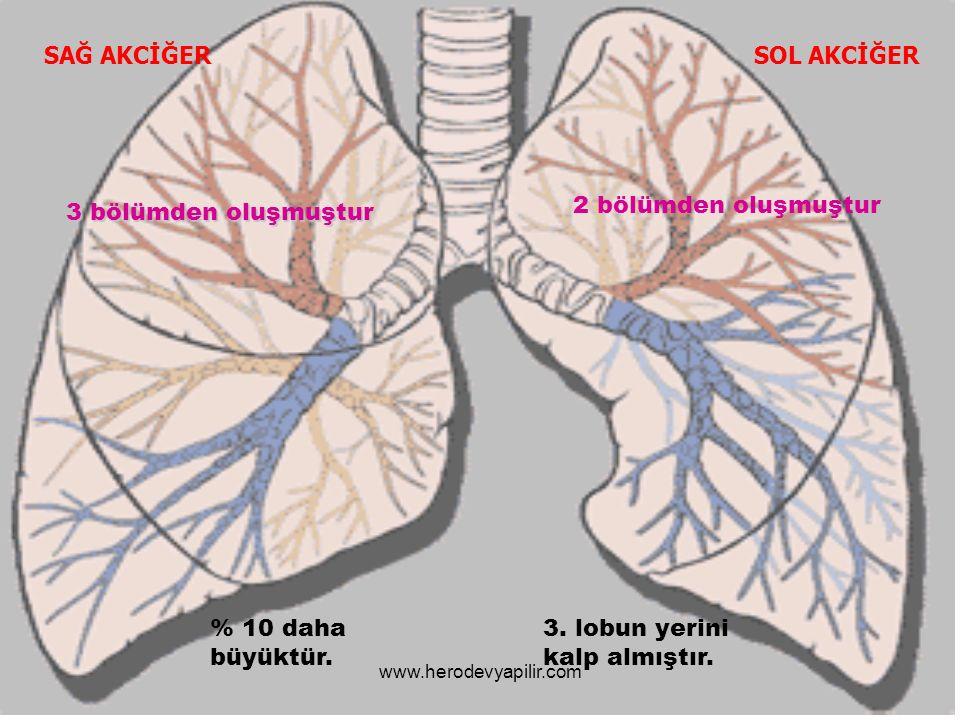 SAĞ AKCİĞERSOL AKCİĞER 2 bölümden oluşmuştur 3 bölümden oluşmuştur 3. lobun yerini kalp almıştır. % 10 daha büyüktür. www.herodevyapilir.com