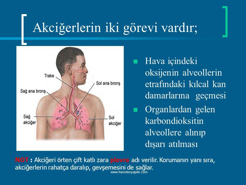 Akciğerlerin iki görevi vardır; Hava içindeki oksijenin alveollerin etrafındaki kılcal kan damarlarına geçmesi Organlardan gelen karbondioksitin alveo