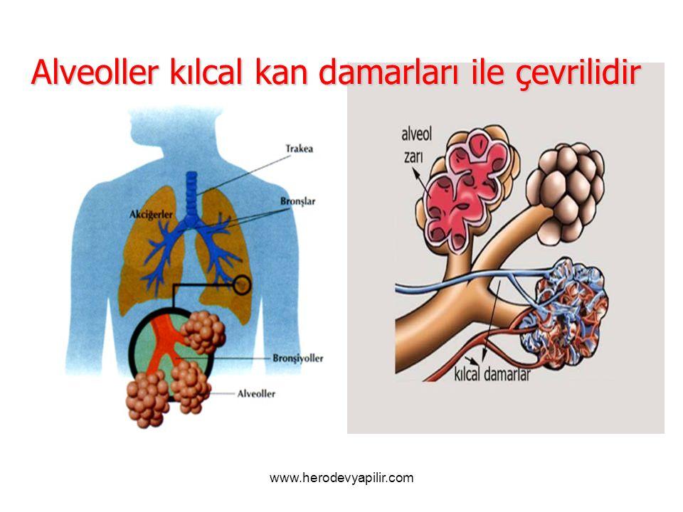 Alveoller kılcal kan damarları ile çevrilidir www.herodevyapilir.com