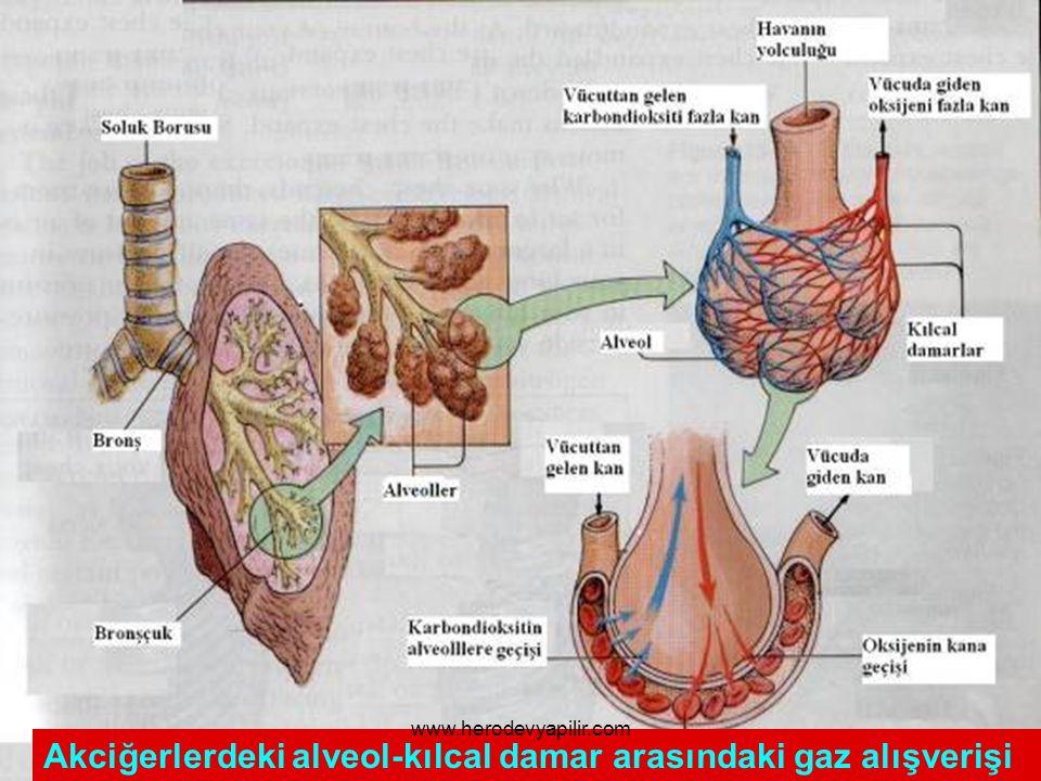 Akciğerlerdeki alveol-kılcal damar arasındaki gaz alışverişi www.herodevyapilir.com