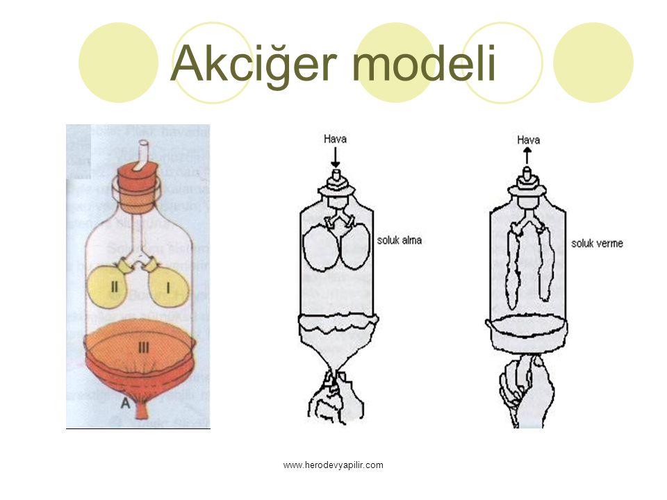 Akciğer modeli www.herodevyapilir.com
