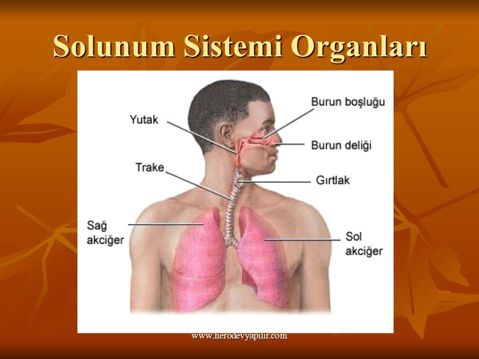 Solunum Sistemi Organları www.herodevyapilir.com