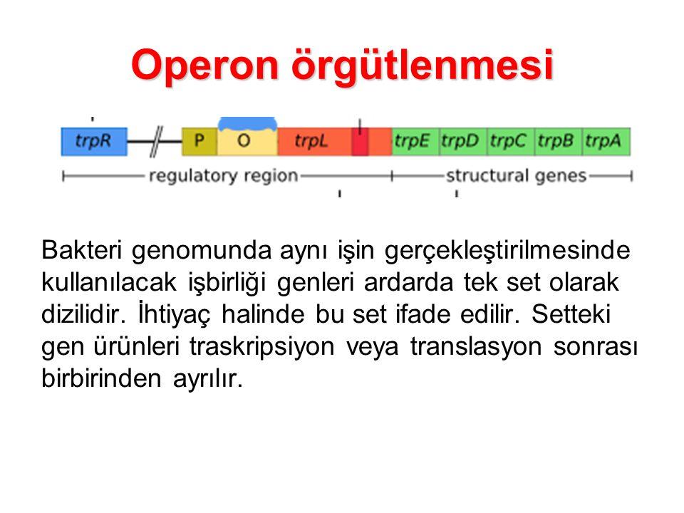 Operon örgütlenmesi Bakteri genomunda aynı işin gerçekleştirilmesinde kullanılacak işbirliği genleri ardarda tek set olarak dizilidir. İhtiyaç halinde