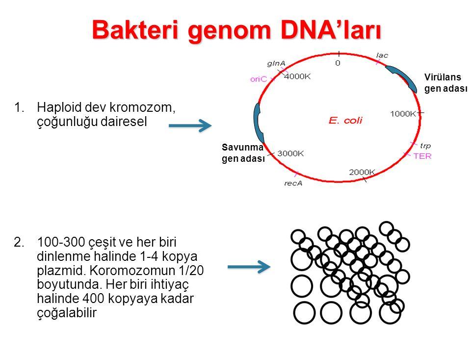 Bakteri genom DNA'ları 1.Haploid dev kromozom, çoğunluğu dairesel 2.100-300 çeşit ve her biri dinlenme halinde 1-4 kopya plazmid. Koromozomun 1/20 boy