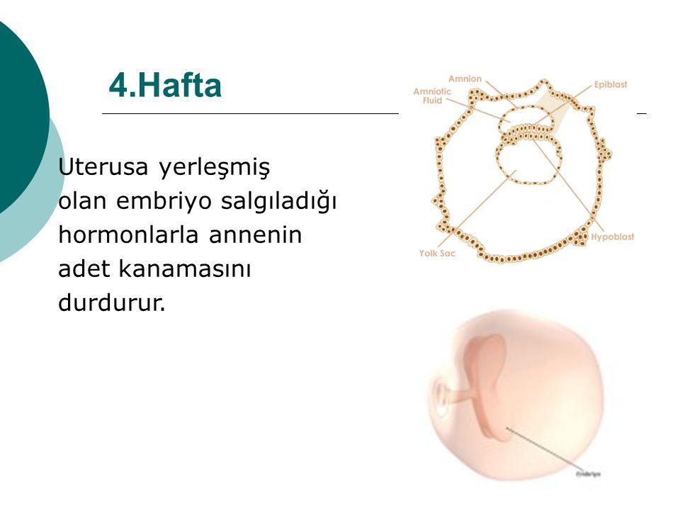 4.Hafta Uterusa yerleşmiş olan embriyo salgıladığı hormonlarla annenin adet kanamasını durdurur.