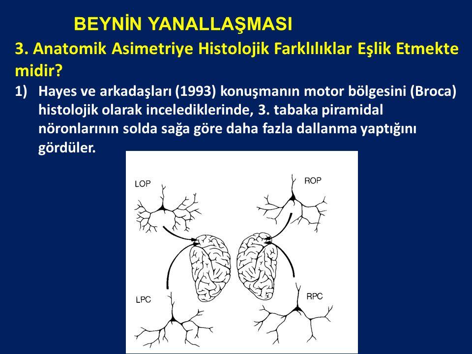 BEYNİN YANALLAŞMASI 3. Anatomik Asimetriye Histolojik Farklılıklar Eşlik Etmekte midir? 1)Hayes ve arkadaşları (1993) konuşmanın motor bölgesini (Broc
