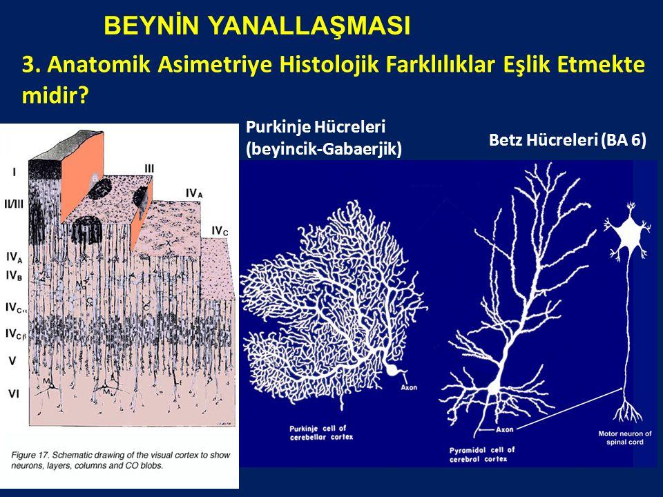 BEYNİN YANALLAŞMASI 3. Anatomik Asimetriye Histolojik Farklılıklar Eşlik Etmekte midir? Betz Hücreleri (BA 6) Purkinje Hücreleri (beyincik-Gabaerjik)