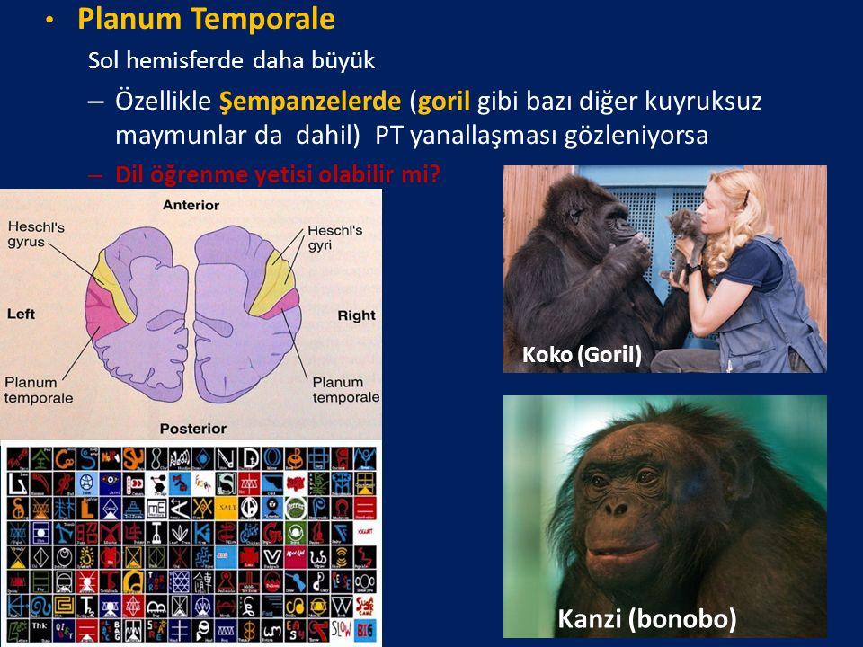 Planum Temporale Sol hemisferde daha büyük – Özellikle Şempanzelerde (goril gibi bazı diğer kuyruksuz maymunlar da dahil) PT yanallaşması gözleniyorsa