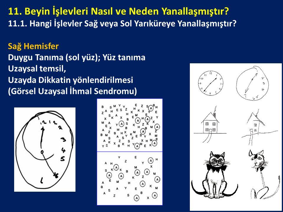 11. Beyin İşlevleri Nasıl ve Neden Yanallaşmıştır? 11.1. Hangi İşlevler Sağ veya Sol Yarıküreye Yanallaşmıştır? Sağ Hemisfer Duygu Tanıma (sol yüz); Y