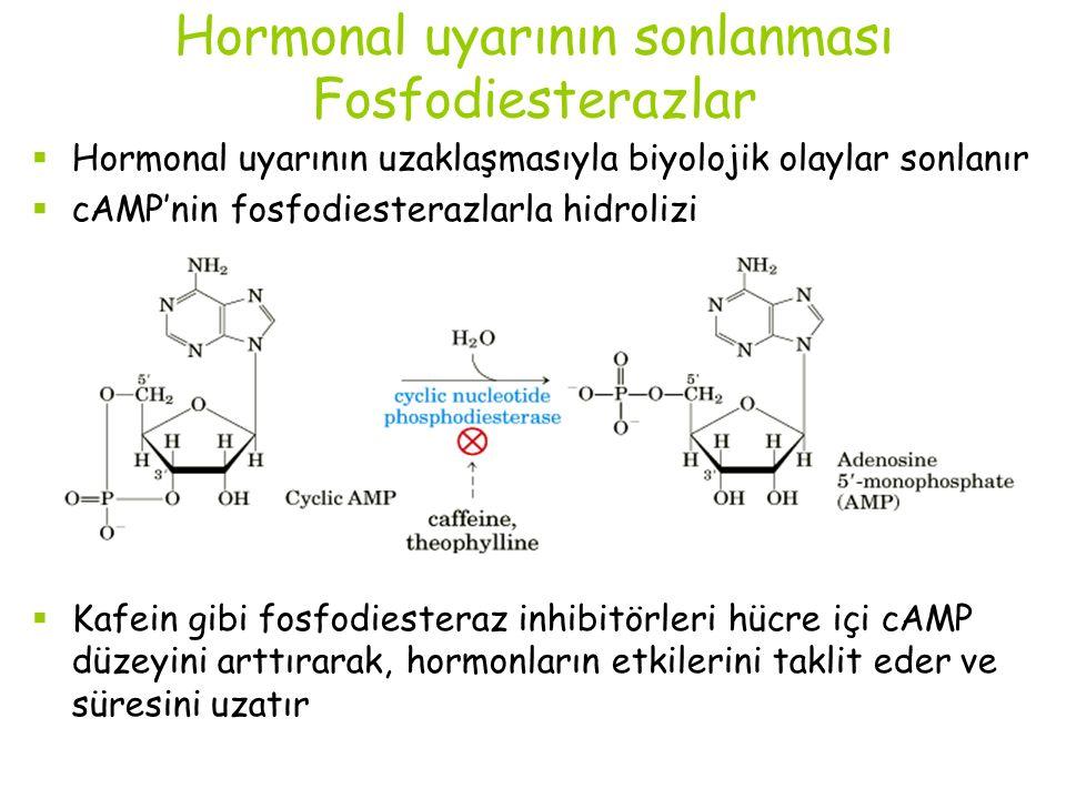 Hormonal uyarının sonlanması Fosfodiesterazlar  Hormonal uyarının uzaklaşmasıyla biyolojik olaylar sonlanır  cAMP'nin fosfodiesterazlarla hidrolizi  Kafein gibi fosfodiesteraz inhibitörleri hücre içi cAMP düzeyini arttırarak, hormonların etkilerini taklit eder ve süresini uzatır