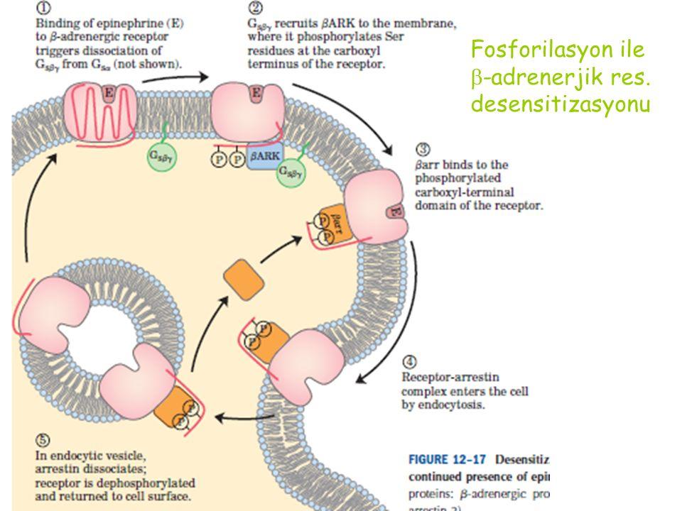 Fosforilasyon ile  -adrenerjik res. desensitizasyonu