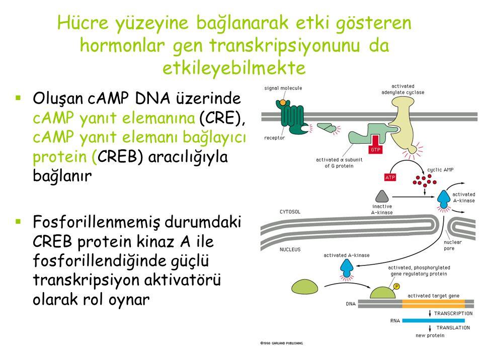 Hücre yüzeyine bağlanarak etki gösteren hormonlar gen transkripsiyonunu da etkileyebilmekte  Oluşan cAMP DNA üzerinde cAMP yanıt elemanına (CRE), cAMP yanıt elemanı bağlayıcı protein (CREB) aracılığıyla bağlanır  Fosforillenmemiş durumdaki CREB protein kinaz A ile fosforillendiğinde güçlü transkripsiyon aktivatörü olarak rol oynar