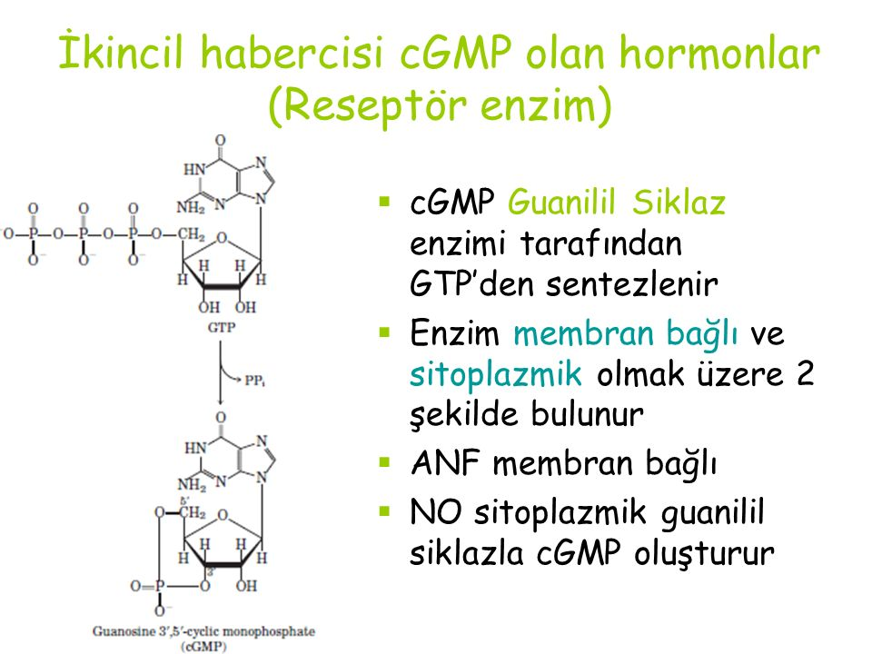 İkincil habercisi cGMP olan hormonlar (Reseptör enzim)  cGMP Guanilil Siklaz enzimi tarafından GTP'den sentezlenir  Enzim membran bağlı ve sitoplazmik olmak üzere 2 şekilde bulunur  ANF membran bağlı  NO sitoplazmik guanilil siklazla cGMP oluşturur