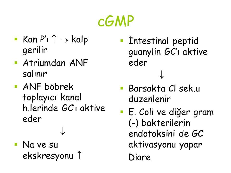 cGMP  Kan P'ı   kalp gerilir  Atriumdan ANF salınır  ANF böbrek toplayıcı kanal h.lerinde GC'ı aktive eder   Na ve su ekskresyonu   İntestinal peptid guanylin GC'ı aktive eder   Barsakta Cl sek.u düzenlenir  E.