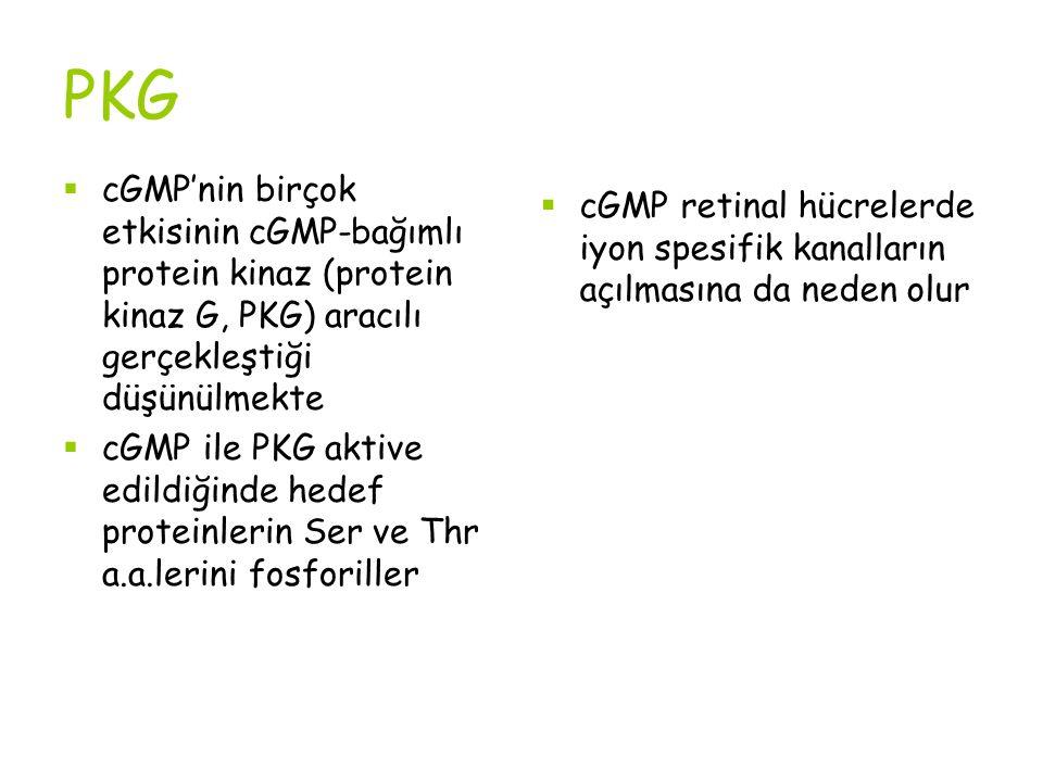PKG  cGMP'nin birçok etkisinin cGMP-bağımlı protein kinaz (protein kinaz G, PKG) aracılı gerçekleştiği düşünülmekte  cGMP ile PKG aktive edildiğinde hedef proteinlerin Ser ve Thr a.a.lerini fosforiller  cGMP retinal hücrelerde iyon spesifik kanalların açılmasına da neden olur