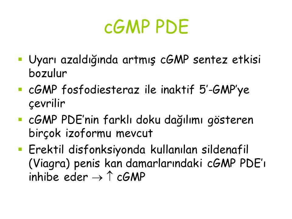 cGMP PDE  Uyarı azaldığında artmış cGMP sentez etkisi bozulur  cGMP fosfodiesteraz ile inaktif 5'-GMP'ye çevrilir  cGMP PDE'nin farklı doku dağılımı gösteren birçok izoformu mevcut  Erektil disfonksiyonda kullanılan sildenafil (Viagra) penis kan damarlarındaki cGMP PDE'ı inhibe eder   cGMP