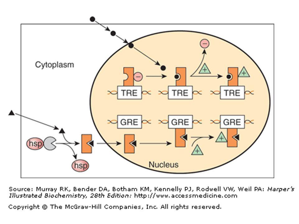 Adenilil Siklaz  Plazma membranında integral bir protein  Aktif bölgesi sitozolik yüzde  Gs  'nın AC ile ilişkisi sonucu aktive olur ve cAMP sentezini katalizler