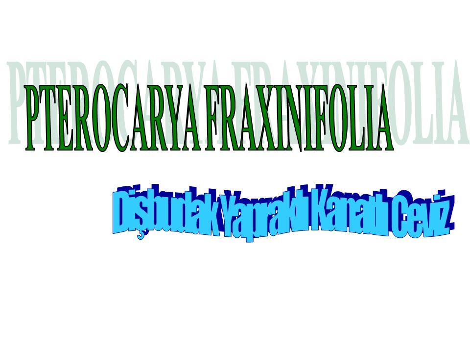 SİSTEMATİK Plantea Spermatopyhta Angiospermae Magnoliatae Hamamelidae Juglandales Juglandaceae Pterocarya Pterocarya fraxinifolia