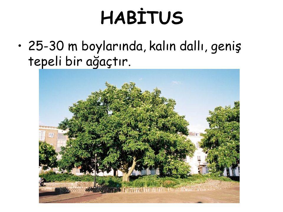 HABİTUS 25-30 m boylarında, kalın dallı, geniş tepeli bir ağaçtır.