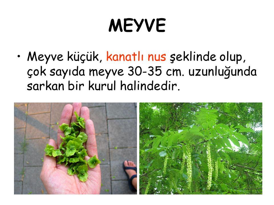 MEYVE Meyve küçük, kanatlı nus şeklinde olup, çok sayıda meyve 30-35 cm.