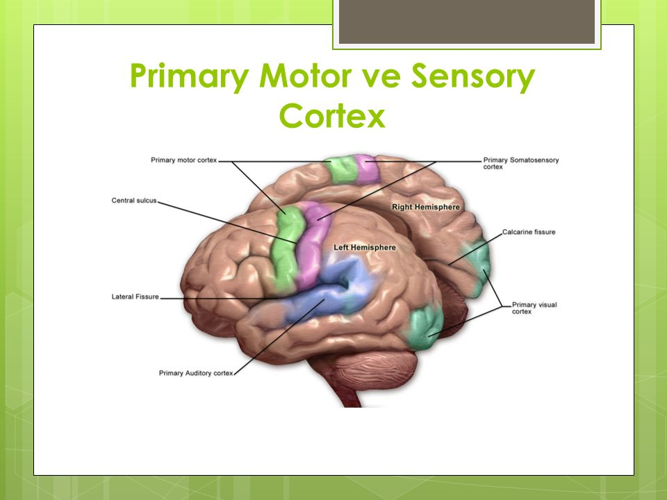 Primary Motor ve Sensory Cortex