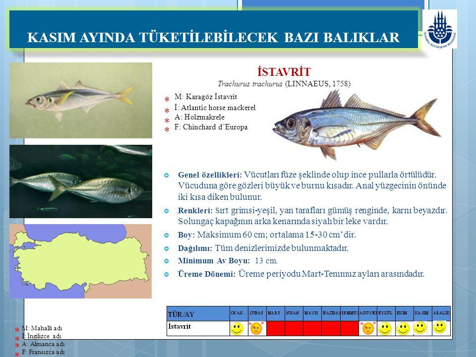 İSTAVRİT Trachurus trachurus (LINNAEUS, 1758) M: Karagöz İstavrit İ: Atlantic horse mackerel A: Holzmakrele F: Chinchard d'Europa KASIM AYINDA TÜKETİLEBİLECEK BAZI BALIKLAR  Genel özellikleri: Vücutları füze şeklinde olup ince pullarla örtülüdür.