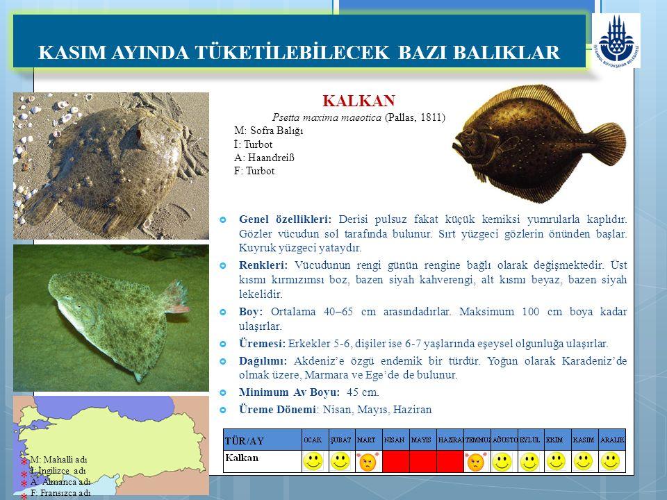 KALKAN Psetta maxima maeotica (Pallas, 1811) M: Sofra Balığı İ: Turbot A: Haandreiß F: Turbot KASIM AYINDA TÜKETİLEBİLECEK BAZI BALIKLAR  Genel özellikleri: Derisi pulsuz fakat küçük kemiksi yumrularla kaplıdır.