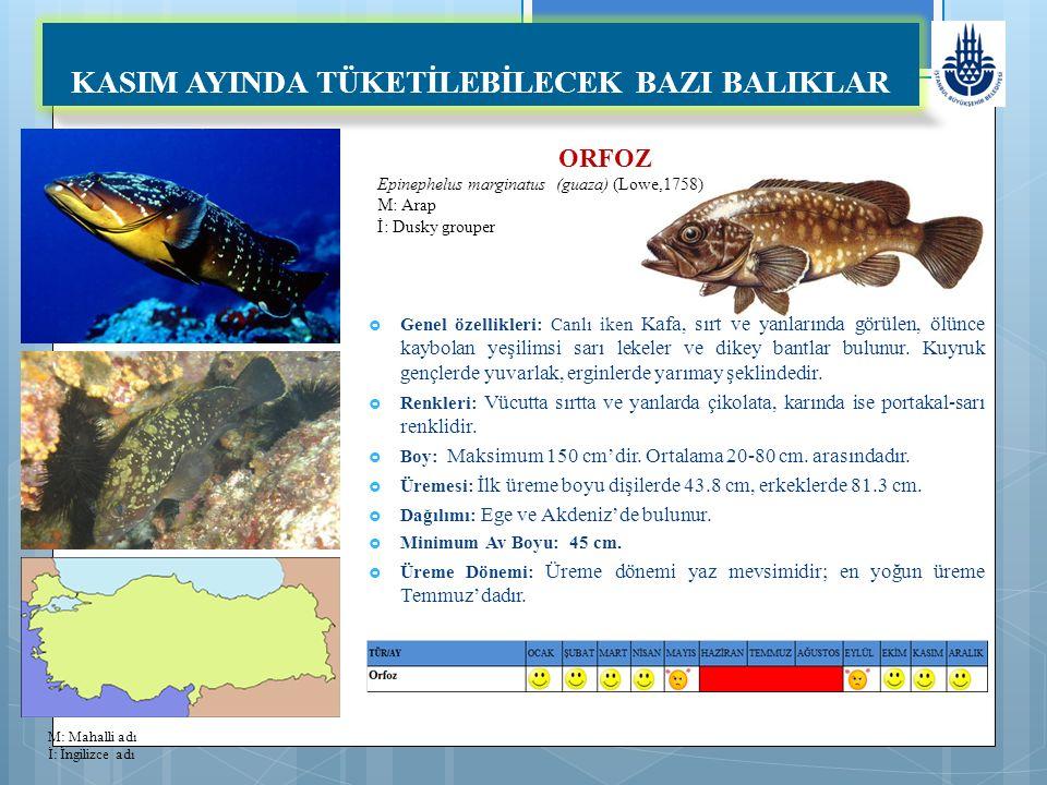 ORFOZ Epinephelus marginatus (guaza) (Lowe,1758) M: Arap İ: Dusky grouper KASIM AYINDA TÜKETİLEBİLECEK BAZI BALIKLAR  Genel özellikleri: Canlı iken Kafa, sırt ve yanlarında görülen, ölünce kaybolan yeşilimsi sarı lekeler ve dikey bantlar bulunur.