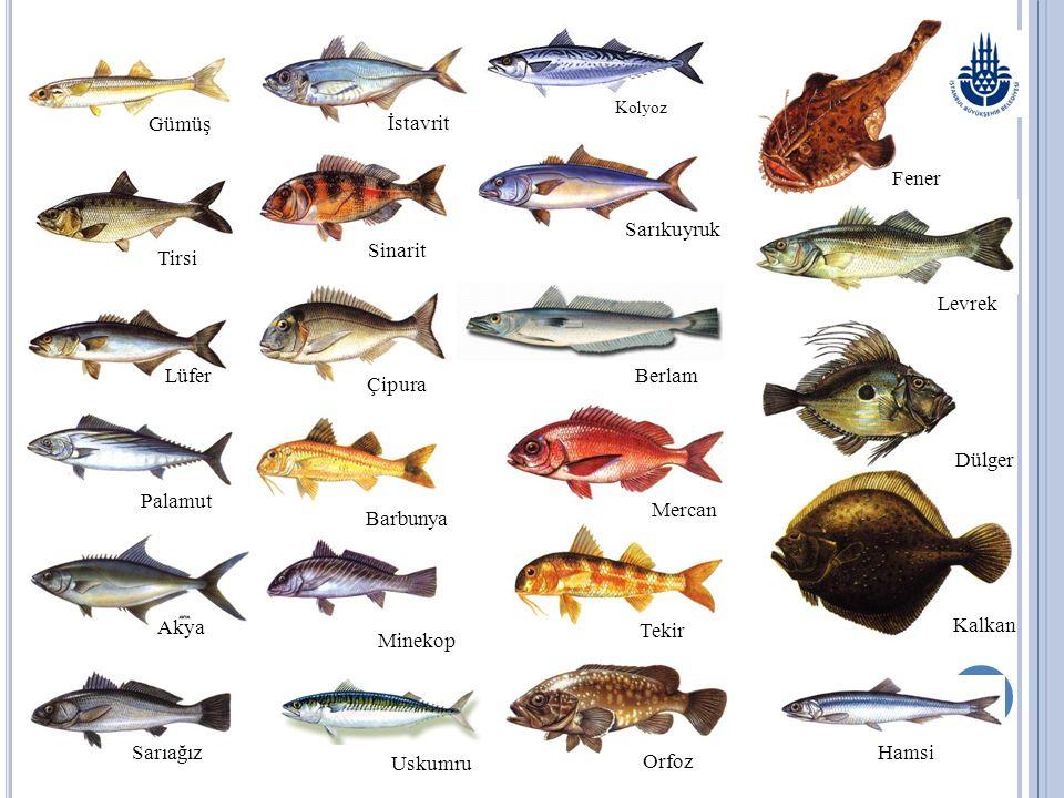KASIM AYINDA TÜKETİLEBİLECEK BAZI BALIKLAR AKYA Lichia amia (Linnaeus, 1758) M: Kuzu, Çıplak, Leka, İskender Balığı İ: Leerfish A: Gabelmakrele F: Caranga Genel Özellikleri:Vücudu derin ve yanlardan basıktır.