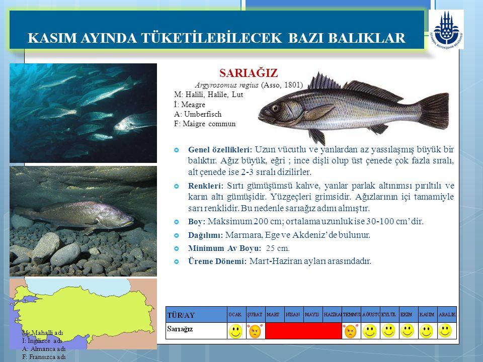 SARIAĞIZ Argyrosomus regius (Asso, 1801) M: Halili, Halile, Lut İ: Meagre A: Umberfisch F: Maigre commun KASIM AYINDA TÜKETİLEBİLECEK BAZI BALIKLAR  Genel özellikleri: Uzun vücutlu ve yanlardan az yassılaşmış büyük bir balıktır.