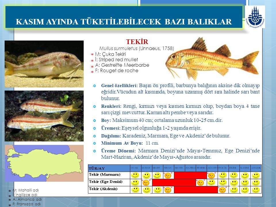 TEKİR Mullus surmuletus (Linnaeus, 1758) M: Çuka Tekiri İ: Striped red mullet A: Gestreifte Meerbarbe F: Rouget de roche KASIM AYINDA TÜKETİLEBİLECEK BAZI BALIKLAR  Genel özellikleri: Başın ön profili, barbunya balığının aksine dik olmayıp eğridir.Vücudun alt kısmında, boyuna uzanmış dört sıra halinde sarı bant bulunur.