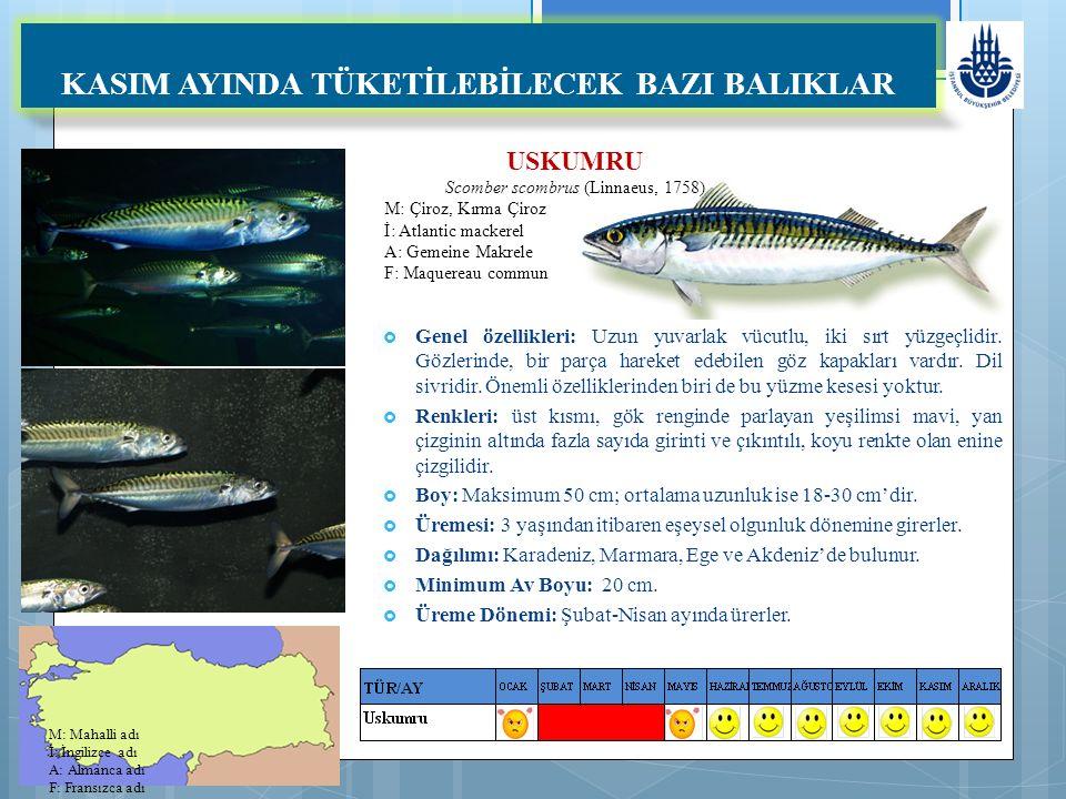 USKUMRU Scomber scombrus (Linnaeus, 1758) M: Çiroz, Kırma Çiroz İ: Atlantic mackerel A: Gemeine Makrele F: Maquereau commun KASIM AYINDA TÜKETİLEBİLECEK BAZI BALIKLAR  Genel özellikleri: Uzun yuvarlak vücutlu, iki sırt yüzgeçlidir.