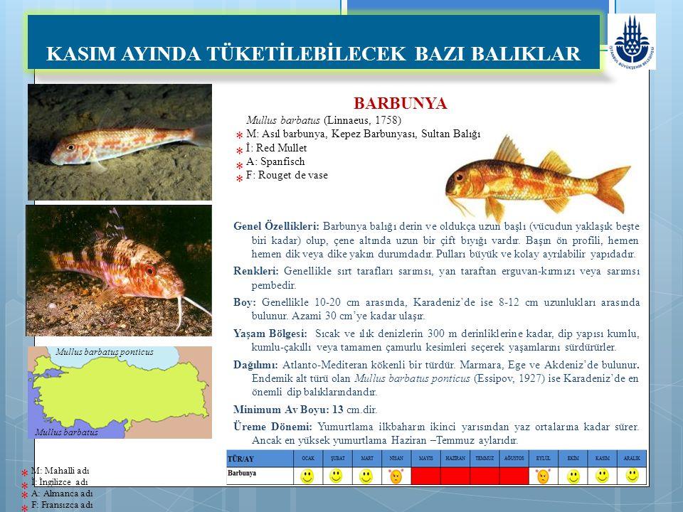 BARBUNYA Mullus barbatus (Linnaeus, 1758) M: Asıl barbunya, Kepez Barbunyası, Sultan Balığı İ: Red Mullet A: Spanfisch F: Rouget de vase Genel Özellikleri: Barbunya balığı derin ve oldukça uzun başlı (vücudun yaklaşık beşte biri kadar) olup, çene altında uzun bir çift bıyığı vardır.