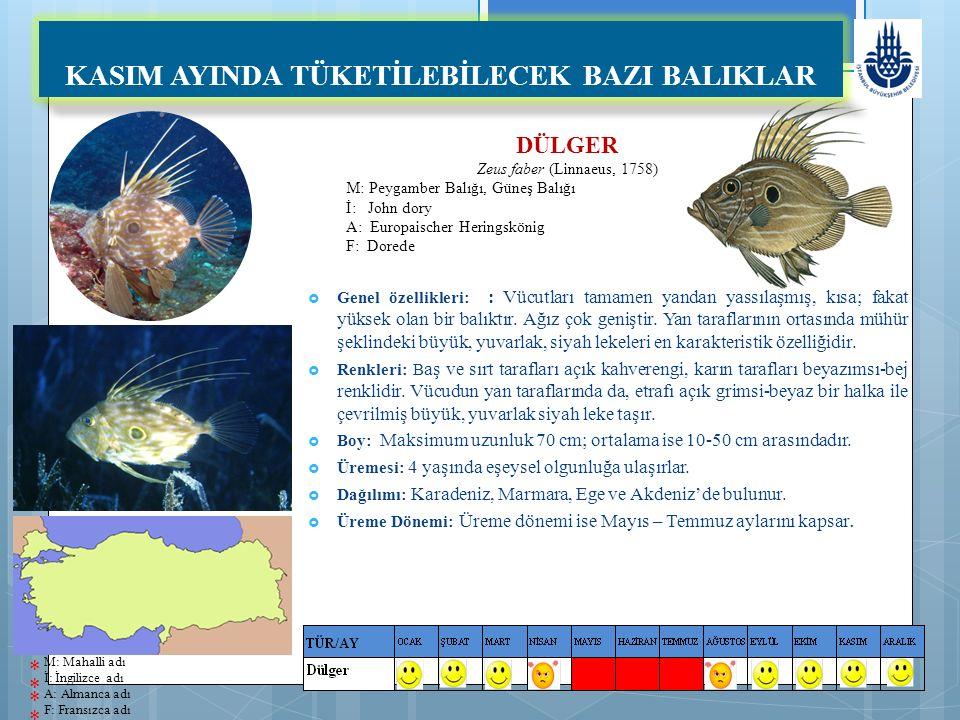 DÜLGER Zeus faber (Linnaeus, 1758) M: Peygamber Balığı, Güneş Balığı İ: John dory A: Europaischer Heringskönig F: Dorede KASIM AYINDA TÜKETİLEBİLECEK BAZI BALIKLAR  Genel özellikleri: : Vücutları tamamen yandan yassılaşmış, kısa; fakat yüksek olan bir balıktır.