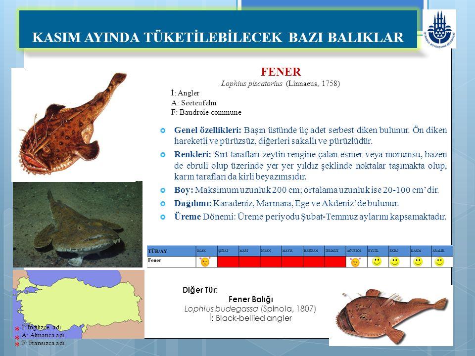 FENER Lophius piscatorius (Linnaeus, 1758) İ: Angler A: Seeteufelm F: Baudroie commune KASIM AYINDA TÜKETİLEBİLECEK BAZI BALIKLAR  Genel özellikleri: Başın üstünde üç adet serbest diken bulunur.